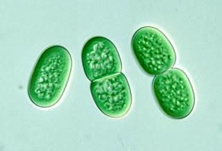 synecococcus