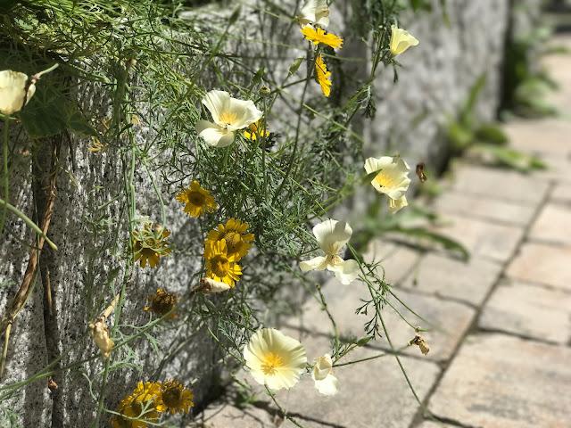 Blüten, die über die Mauer quellen (c) by Joachim Wenk