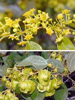 Karaçalı çiçeklerinin ve meyvelerinin yakından görünüşü