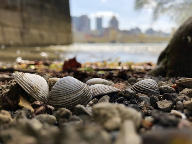 Asian Clams in Allegheny River in Pittsburgh