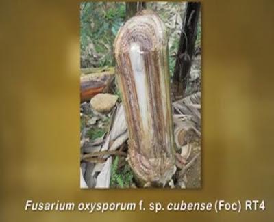 """Doença chamada """"Raça 4 Tropical"""" pode causar a Extinção da Plantação de Banana no Brasil"""