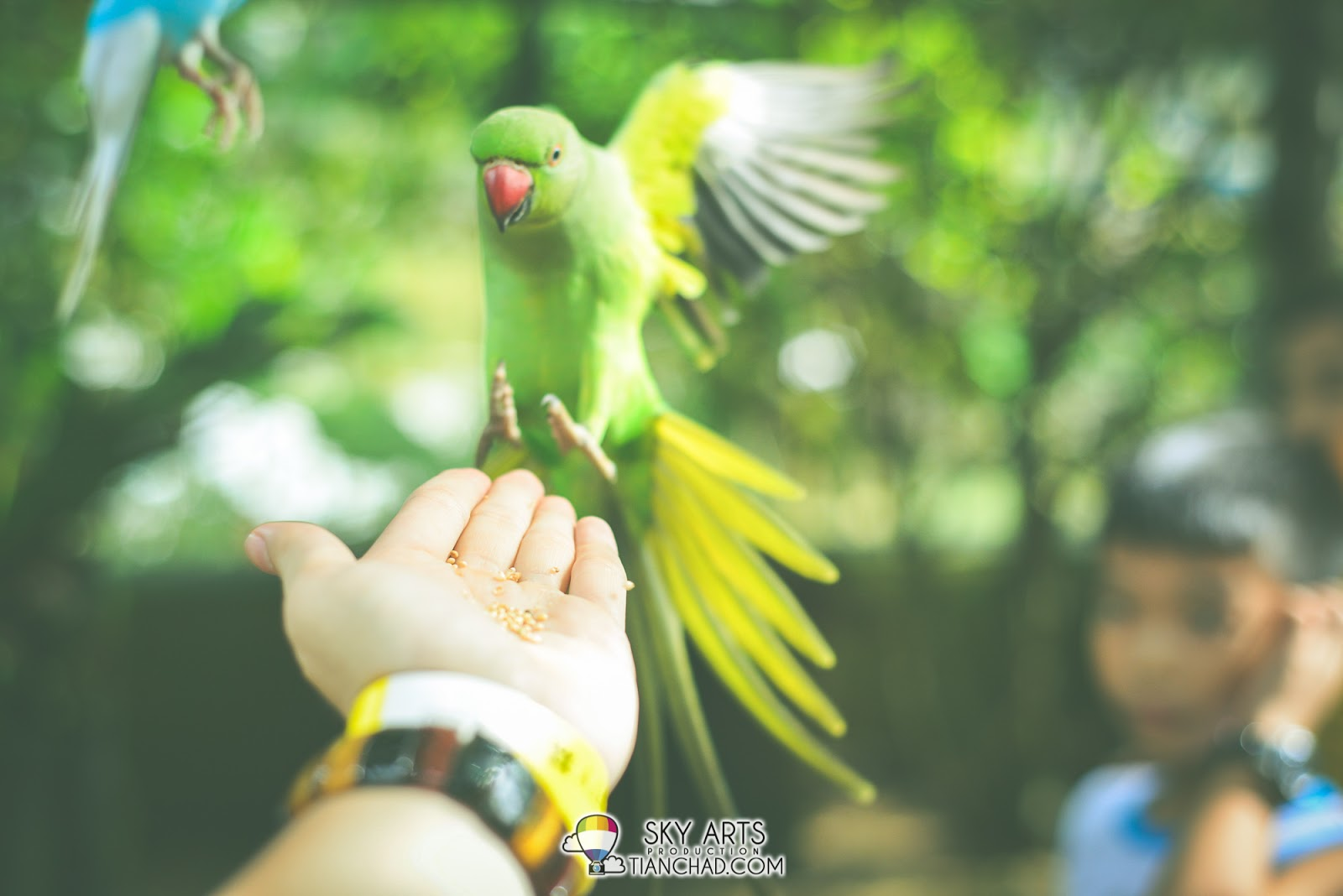 Parrot flying to my hand for some food