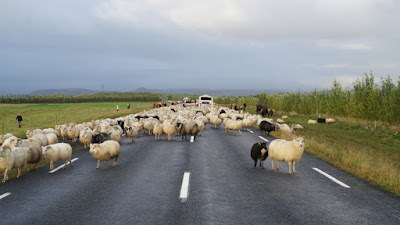 Sheep blocking the road and cars in Iceland
