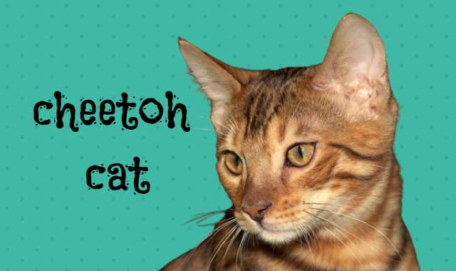 cheetoh cat breed information