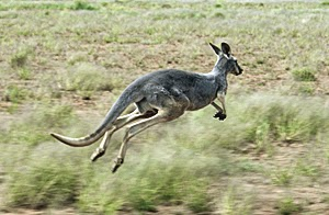 Kangaroo Hopping in the Australian Outback