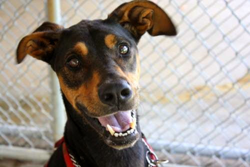 #blackandTan #doberman who found his forever home