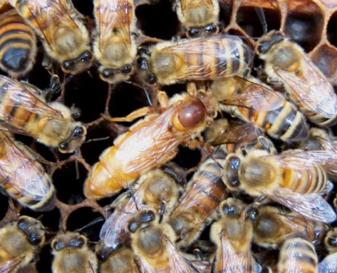 queen bee - photo #25