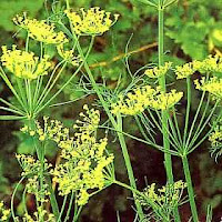 Plantes médicinales populaires