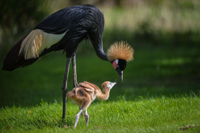 Baby Animals: Crane Chicks 4