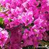 En que te puede ayudar la  flor veranera en tu Salud