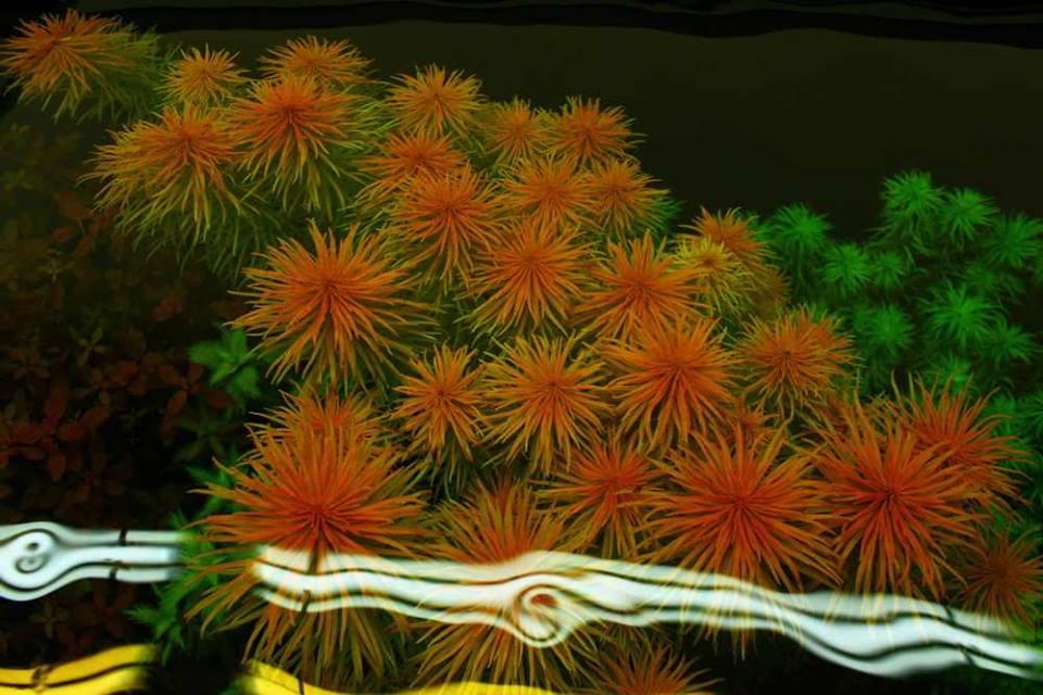 Màu hồng rực rỡ của cây thủy sinh Hồng Thái Dương