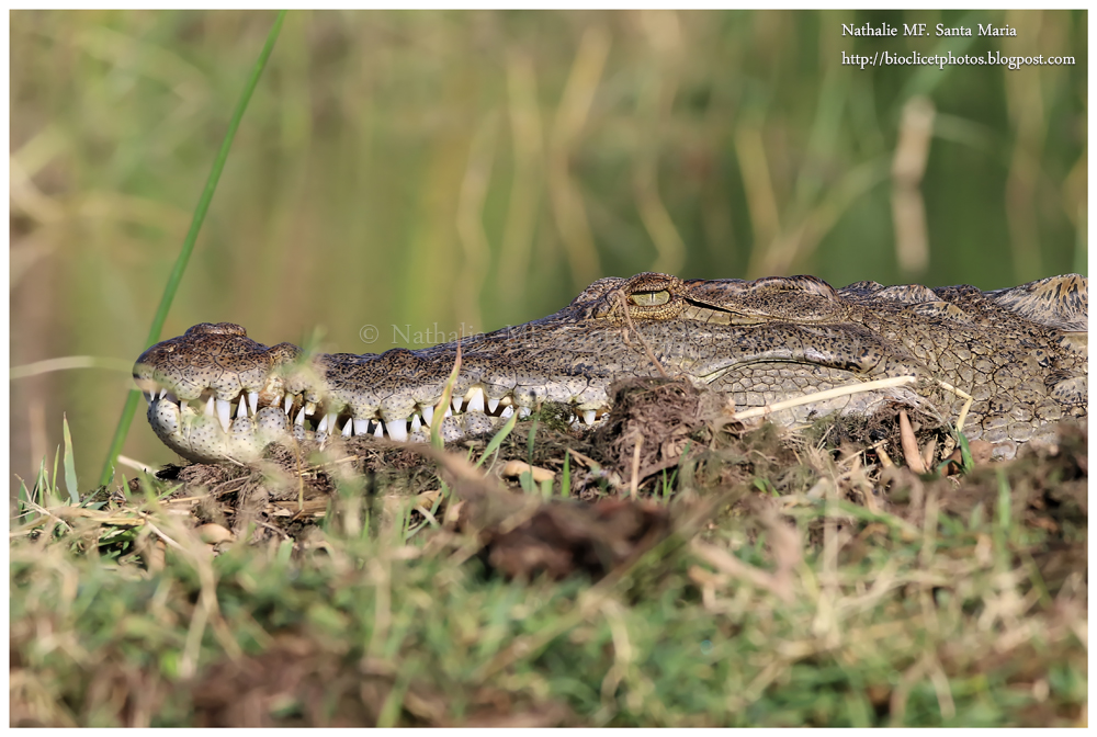https://bioclicetphotos.blogspot.fr/search/label/Crocodile%20du%20Nil