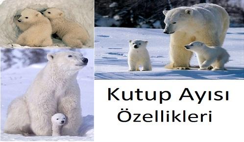 kutup ayısı resmi