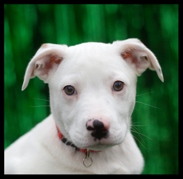 Shelter Dogs Of Portland Quot Gilligan Quot Puppy Love