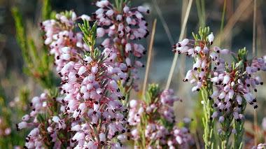 Color rosado para el otoño: Erica multiflora L.