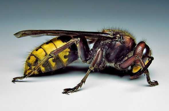 hornet-vespa-wasps-الدبور-الزنبار