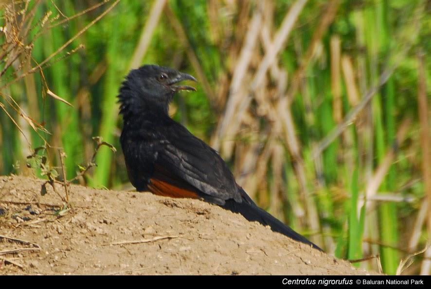 Tips Cara Merawat Burung Bubut Suara Nyaring Gacor Foto Burung Kicau