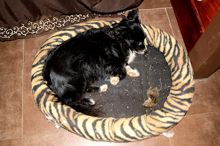 dog in bed with dead mouse