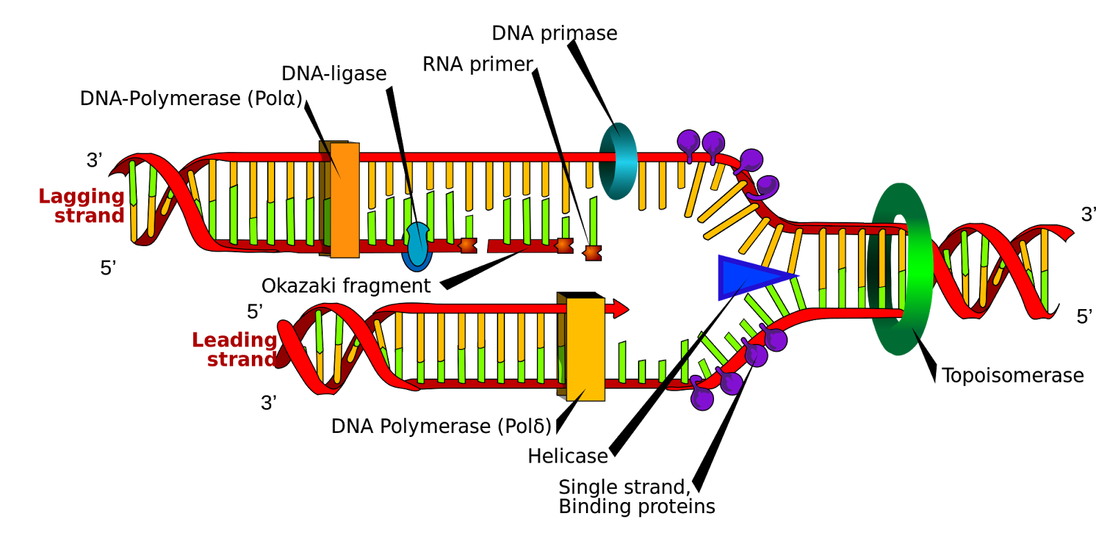 30 TOP DNA REPLICATION Questions and Answers pdf download