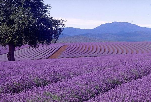 cánh đồng hoa oải hương đẹp nhất thế giới 29