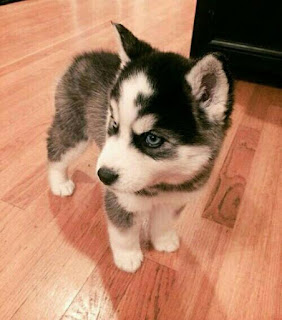 Husky dogs is lovely pet you can get