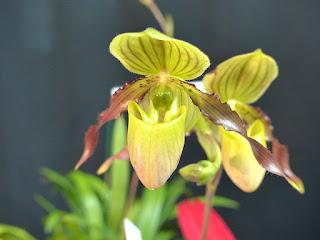 Paphiopedilum Honey - Paphiopedilum philippinense x Paphiopedilum primulinum