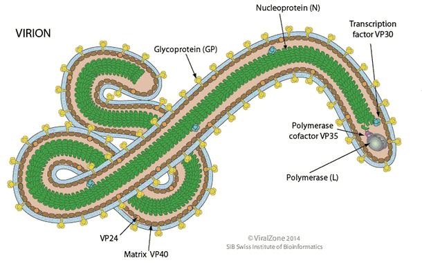 struktur virus ebola