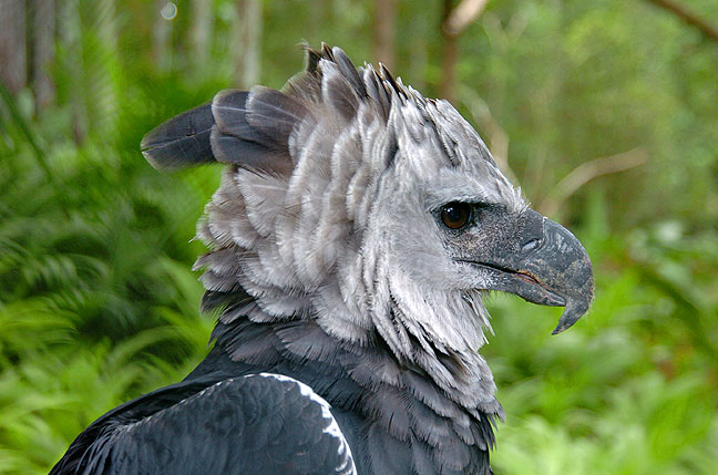 Harpy eagle pictures and wallpapers animals library - Harpy eagle hd wallpaper ...