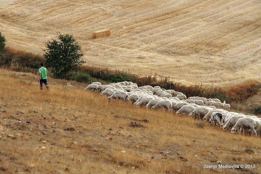 Rebaño de ovejas conducido por el pastor