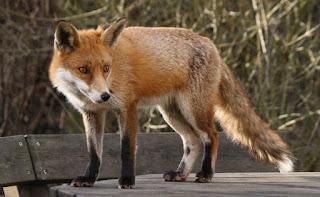 أروع صور الثعلب - Photos fox اجمل صور ثعلب   صور fox مجموعة صور للثعالب