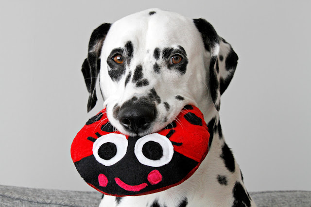 Dalmatian dog playing with a ladybug shaped dog toy