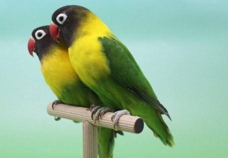 jenis jenis burung lovebird lengkap bergambar resep masakan