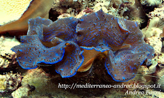 Tridacna maxima blue