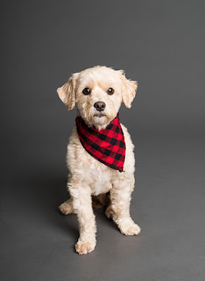 A small white dog wearing a black and red check handkerchief sits against a dark grey background