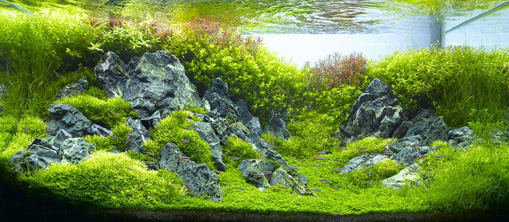 Một bố cục hồ thủy sinh rất xanh sạch đẹp có thể dùng cây trân châu ngọc trai làm thảm
