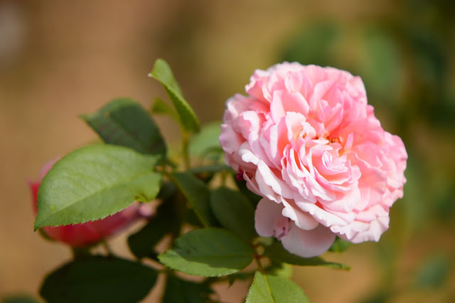 rose james galway, english rose, david austin rose, small sunny garden, desert garden, amy myers