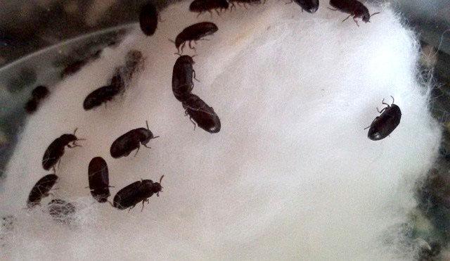 Manfaat Semut Jepang Sebagai Obat Berbagai Penyakit ( Diabetes,Vitalitas Pria, Stroke, Kanker, dll )