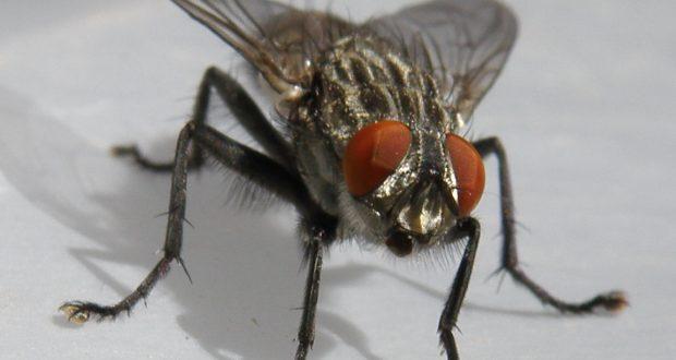 الجهوية 24 - علماء: الذباب أكثر خطورة على البشر مما نتصور