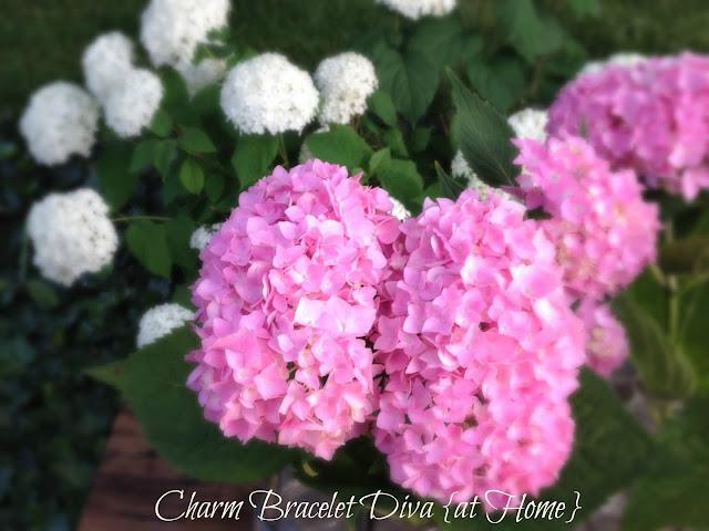 white pink smooth leaf hydrangeas