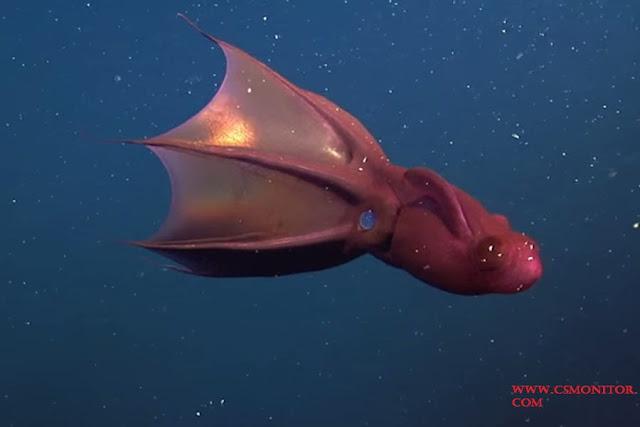Vampire Squid Adalah Jenis Ikan Laut Dalam Paling Menyeramkan, Predator Dan Unik