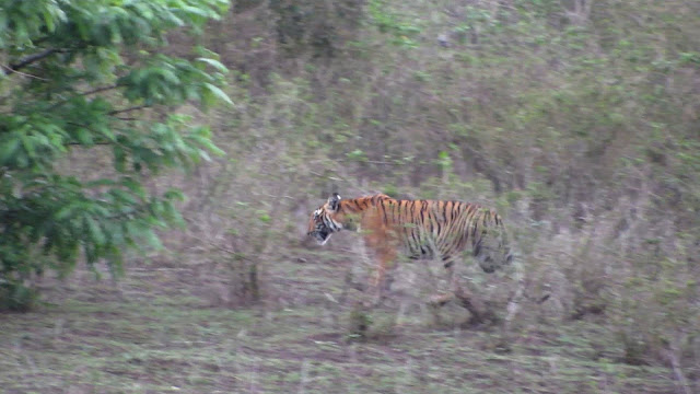 tiger sighting masinagudi mudumalai nilgiris april may 2017 by anuj hissaria