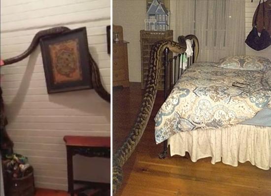 Mulher acorda com uma cobra gigante enrolada em sua cama 2