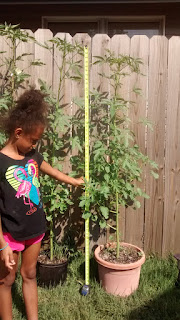 Little Green Thumbs helping with Kenaf plants 6 foot tall wood fence background