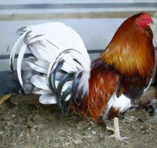 gallo de pelea miner blus
