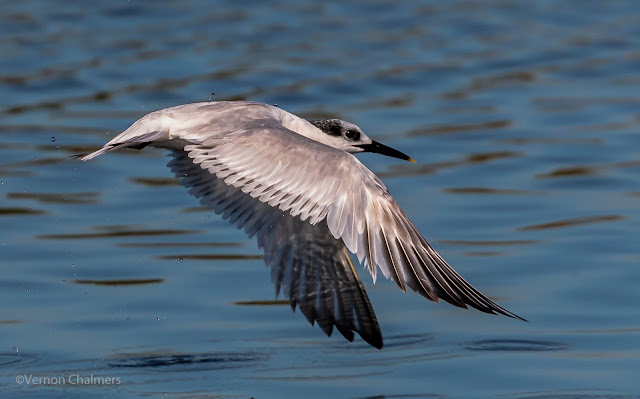 Sandwich Tern in Flight: Canon EOS 70D / Canon EF 70-300mm f/4-5.6L IS USM Lens