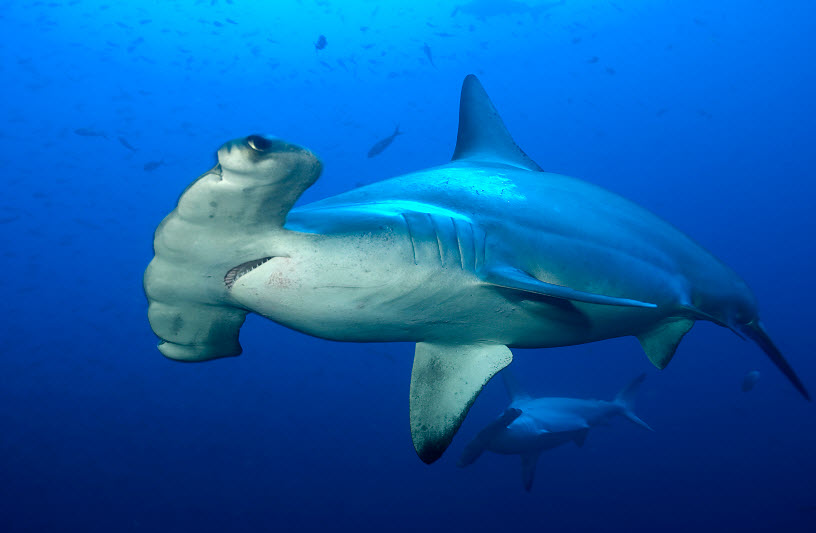 largest hammerhead shark - photo #6