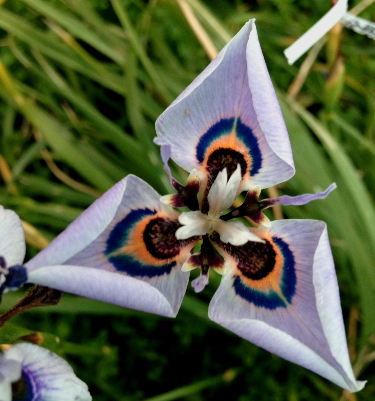 Growing cool plants new moraea hybrids 2017 - Interesting houseplants ...