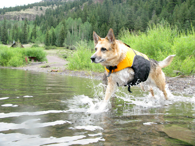 German Shepherd tri paw jumping into stream