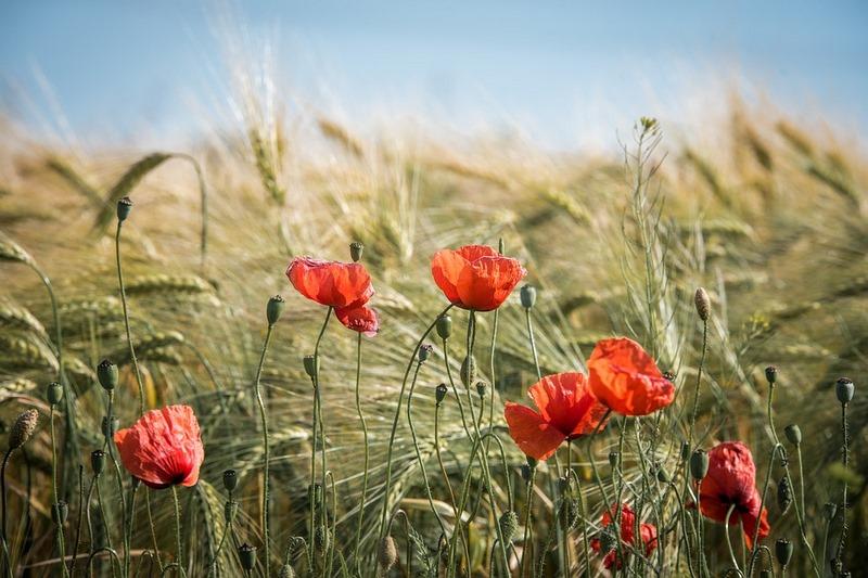 amapolas rojas entre paisaje de cereales