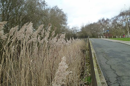 ThamesMead reed - How To Get Rid Of Reeds In A Field